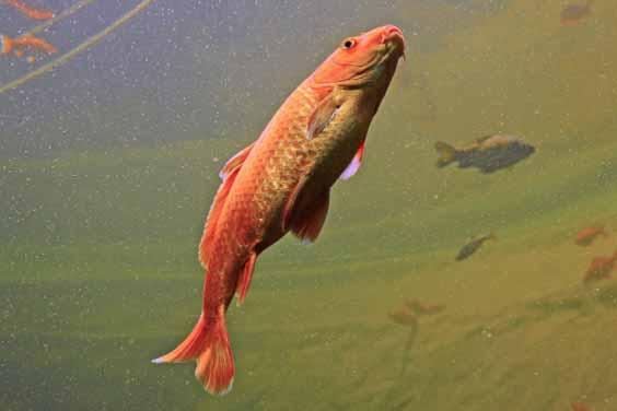 A Koi Fish