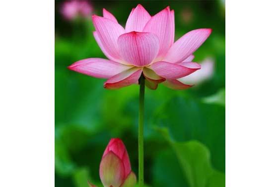 Close up image of a pink lotus