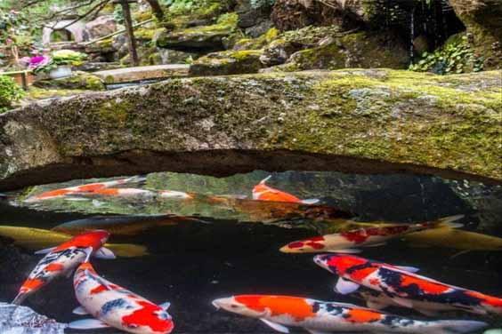 Traditional Koi Pond