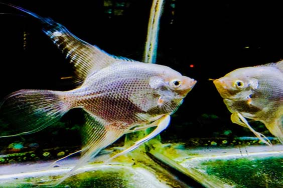 A Silver Angelfish