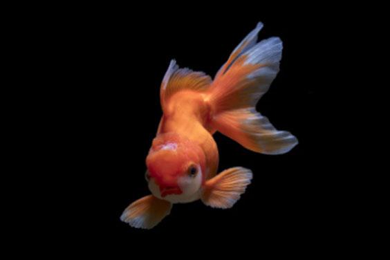 Fancy GoldFish in a Fish Tank