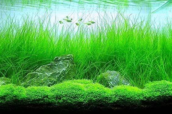 Fish Tank Vegetation