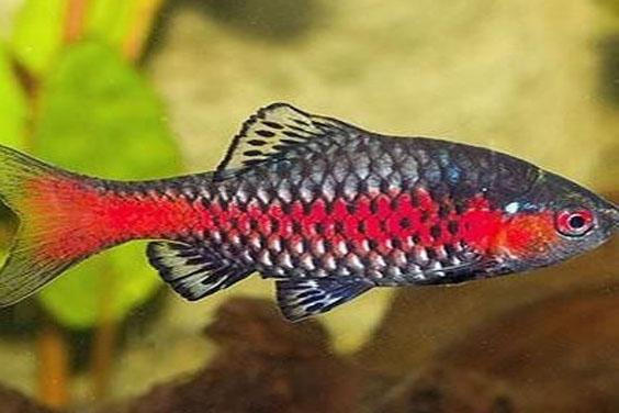 Freshwater Aquarium Barbs