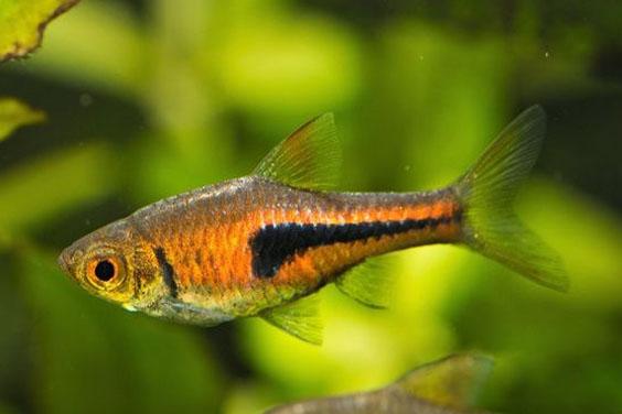 Lambchop Rasboras Fish
