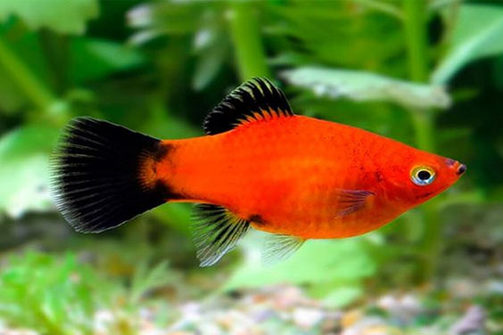 Red Wagtail Platy in a Freshwater Aquarium